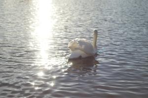 labuť,slunce