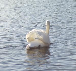 tančící labuť